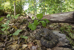 Eastern Massasauga Rattlesnake (Nick Scobel) Tags: eastern massasauga rattlesnake sistrurus catenatus michigan rattler venomous snake pit viper fangs strike camouflage texture pattern cryptic scales forest floor leaf autumn color