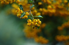 Autumn fruits (Baubec Izzet) Tags: baubecizzet pentax bokeh fruit autumn nature