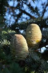 Pinecones (Martin Pettitt) Tags: 2018 burystedmunds digitalcamera dslr hardwickheath heath nikond90 outdoor park pinecones suffolk trees uk
