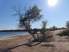 Tree on the beach (Quevillon) Tags: park sandbanksprovincialpark ontarioparks westlake athol sandbanksdunesbeach beach tree canada ontario easternontario centreontario princeedwardcounty isleofquinte
