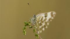 _IGP2472 (andrzejreschke) Tags: insects reptiles plants grass nature butterfly lizard moss flowers beauty beautyofnature