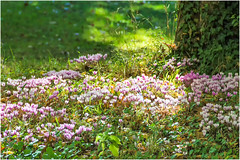 Un tappeto color fucsia … (miriam ulivi - away for some weeks ...) Tags: miriamulivi nikond7200 francia valledellaloira ciclamini verde green sottobosco cyclamen undergrowth nature wildflowers fiorispontanei