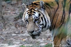 Tigre de Sibérie / Siberian Tiger (Herve Tainturier) Tags: tigredesibérie siberiantiger tigre