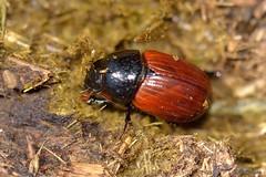 Aphodius fimetarius (Linnaeus, 1758) (Jesús Tizón Taracido) Tags: insecta coleoptera polyphaga scarabaeiformia scarabaeoidea aphodiidae aphodiinae aphodiusfimetarius
