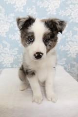 Puppy (t!ge) Tags: puppy bordercollie australiankoolie koolie collie
