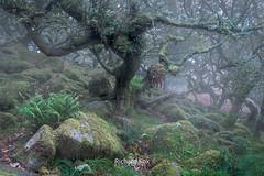 Plan B (http://www.richardfoxphotography.com) Tags: dartmoor dartmoornationalpark woodland wistmanswood devon foggy fog misty mist sunrise wood forest moorland trees outdoors