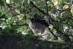 IMG_8768 (fields john) Tags: dublin ireland urban sparrowhawk october autumn