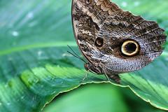 Owl Butterfly (dianne_stankiewicz) Tags: nature wildlife insect butterfly owlbutterfly wings pattern
