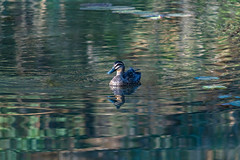 Pacific Black Duck and Reflection (Merrillie) Tags: natural landscape nature water stream perth flowing canningriver reflection wild wildlife ducklings river fauna animals kelmscott outdoors waterscape pacificblack westernaustalia ducks australia