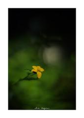 2018/9/16 - 3/18 photo by shin ikegami. - SONY ILCE‑7M2 / 七工匠  7artisans 50mm f1.1 (shin ikegami) Tags: 山吹 flower 花 sky 空 macro マクロ 井の頭公園 吉祥寺 autumn 秋 asia sony ilce7m2 sonyilce7m2 a7ii 50mm 七工匠 7artisans 7artisans50mmf11 tokyo photo photographer 単焦点 iso800 ndfilter light shadow 自然 nature 玉ボケ bokeh depthoffield naturephotography art photography japan earth
