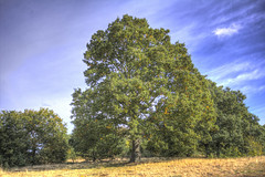 Mighty Oak - Wanstead Park (ArtGordon1) Tags: autumn october 2018 england uk eppingforest davegordon davidgordon daveartgordon davidagordon daveagordon artgordon1 wansteadpark wanstead oaktree
