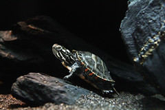 Eastern Painted Turlte (Chrysemys picta picta) (huwngddinh) Tags: eastern painted turtle easternpaintedturle chrysemys picta turlte chrysemyspictapicta