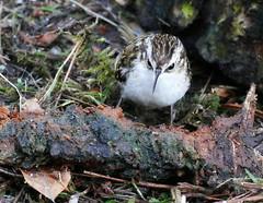 Treecreeper (eric robb niven) Tags: ericrobbniven scotland treecreeper wildlife wildbird springwatch tentsmuir forest