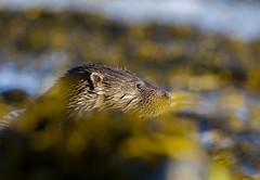 Otter - Mull (Nigey2) Tags: mull otter otters coast seaweed