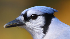 Nice Hairdo (blazer8696) Tags: 2018 brookfield ct connecticut ecw obtusehill t2018 tabledeck usa unitedstates blja blue bluejay corvidae cristata cyacri cyanocitta cyanocittacristata img1651 jay passeriformes