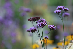 Autumn Colour (jillyspoon) Tags: rhs harrogate harlowcarrgardens purple dof depthoffield canon canon70d purpleflower flower autumn