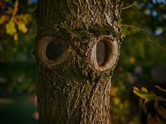 Watching you... (BeMo52) Tags: astlöcher autumn blätter eiche flora garten herbst natur nature oak rinde struktur pareidolia smileonsaturday