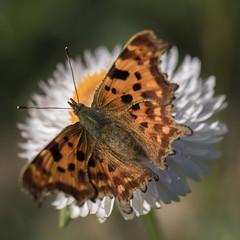 Un beau diable et une immortelle * (Titole) Tags: everlastingflower immortelle titole nicolefaton robertlediable butterfly squareformat white orange