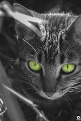 Cat portrait (Michell Fotografia) Tags: portrait cat gato retrato cats animais animaisdomésticos olhos malhado pet animals riodejaneiro natureza eyes brasil brazil green