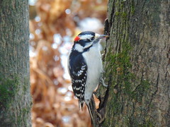 Hairy woodpecker (Quevillon) Tags: canada québec laurentides thérèsedeblainville rosemère park parcdelarivièredesmilleîles tyleemarsh bird hairywoodpecker woodpecker