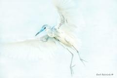 Little blue, a little white (Earl Reinink) Tags: blue white bird animal wadingbird heron littleblueheron water outdoors wildlife nature earl reinink earlreinink zuddhuodza