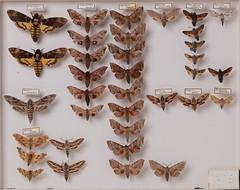 lepidoptera-sphingidae-acherontia-mimas-celerio-deilephila-smerinthus-4335 (insects@nmbe) Tags: ccbync nmbe4335 53514 lepidoptera sphingidae acherontia mimas celerio deilephila smerinthus caothoe macroglossa nmbe