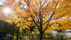 Sunkist (caribb) Tags: 2018 abstract fall autumn color colour colorful colourful pretty nature garden sunny bright leaves fallleaves mapleleaves mapleleaf sunshine canada