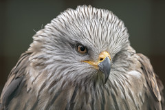 Black Kite (cazalegg) Tags: black kite raptor bird prey eye beak feather nikon nikkor