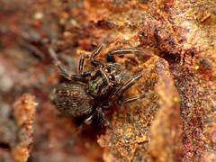 Damn Paparazzi (treegrow) Tags: newzealand nature lifeonearth raynoxdcr250 arthropoda moana lakebrunner arachnida araneae salticidae