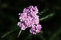 Wild Flower (Hugo von Schreck) Tags: hugovonschreck canoneos5dsr flower blume blüte tamron28300mmf3563divcpzda010