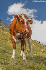 SF_IMG_2833 - Leisure time in the mountain for a little cow, Gruyère region - Switzerland (Valentin Vuichard) Tags: valentinvuichard valentin vuichard gruyère gruyèrien lagruyère gruyères gruyere gruyeres greyerz fribourg freiburg romandie suisse schweiz switzerland montagnes montagne préalpes alps prealps mountain westschweiz alpes mountains paysagedemontagne panoramademontagne panorama paysage alpage chalet patrimoine sommet sommets landscapes nature naturel beautiful hills colline marche walking rando randonnée hiking trekking summit cottage