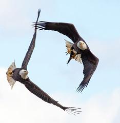 Week 37 Composition: Eye Lines (arlene sopranzetti) Tags: dogwood2018 eagles conowingo electrical plant maryland flight chase bald