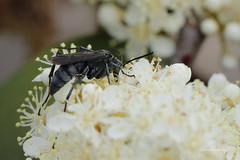 Black Wasp (blackcatcraft) Tags: insects garden flower macro fly blackwasp wasp