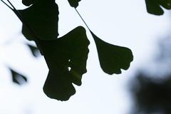 Ginko Silhouette (Stuart Borrett) Tags: athens florence georgia hurrication silhouette nature plant botanicalgarden