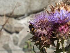 Day 266 (Emmadukew) Tags: pad18 2018pad 266365 bee thistle stirlingcastle