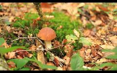 Cèpe (philippe.ducloux) Tags: champignon mushroom natureonly france saintpaullaroche périgord périgordvert dordogne sudouest aquitaine nature strictlygeotagged cèpe boletus canon 6d 6dmkii canon6dmkii canonef50mmf18ii