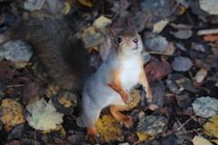 // FINLAND (Joona Jo) Tags: squirrel orava suomi finland nature luonto syksy fall autumn