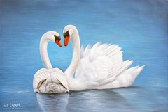 Love Is a Promise, Art Painting / Oil Painting For Sale - Arteet™ (arteetgallery) Tags: arteet oil paintings canvas art artwork fine arts swan lake swans white background beautiful love watercolor wild wildlife bird water nature beauty illustration family light green animal day reflection lovely tranquil calm marriage peaceful graceful floating couple pair animals landscapes birds lakes rivers cyan paint