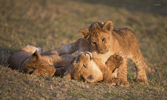 Lion cubs playing in evening light! (WhiteEye2) Tags: lioncubs wildlife nature lions cubs olaremotorogiconservancy kenya africa babyanimals playful cute adorable bigcats