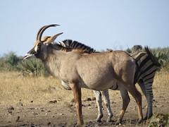 Roan Antelope / Baster Gemsbok   ( shadowed by a Zebra ) (Pixi2011) Tags: antelope krugernationalpark africa wildlife nature animals