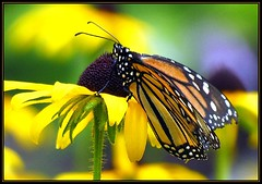 IMG_0388 A Brighter Day 7-25-18 (arkansas traveler) Tags: monarchbutterfly butterfly insects bichos bugs flowers blackeyedsusan zoom telephoto nature naturewatcher natureartphotography