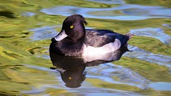 Tufted Duck (doranstacey) Tags: nature wildlife birds waterbirds tuftedduck tufted duck ducks rufford countrypark ponds lakes water tamron 150600mm nikon d5300