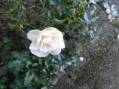 "White Rose, gardens, ""Ramada Resort"" Sebastopol, Ballarat (d.kevan) Tags: plants grass flowers gardens grounds ramadaresort sebastopol ballarat roses whiterose flowerbeds rosebuds"