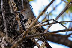 Northern Flicker Woodpecker (jimmy.stewart40) Tags: bird woodpecker northernflicker perched treelimb branch sky blue spots blackcollar outdoors wildlife wildbird