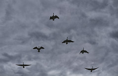 Evening Fly Over.... (Steve InMichigan) Tags: canadageese geese geeseflying birds