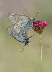 Black-veined White (Aporia crataegi). (Bob Eade) Tags: blackveinedwhite butterflies bulgaria meadow bansko europeanbutterflies pair summer macro bokeh