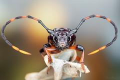 Trachyderes succinctus duponti (Cerambycidae) (Bruno Garcia Alvares) Tags: trachyderessuccinctusduponti cerambycidae longhornbeetle longhorn besouro besourocolorido besouroserrapau coleoptera coleoptero besouros beetle beetles brunogarciaalvares canon canon80d ef100mmf28macrousm macro macrofotografia macrofotography macrophotography insetos insetosbrasileiros insetosdaamazônia amazoninsects contrast orange red blue background bokeh colorfulinsects colors nature natures natureza brazil 430exii diydiffuser beauty beatiful microvisions