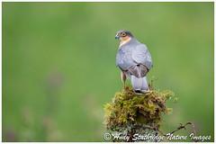 Killer Pose-Male Sparrowhawk (www.andystuthridgenatureimages.co.uk) Tags: sparrowhawk perch post fence hawk raptor woodland scotland