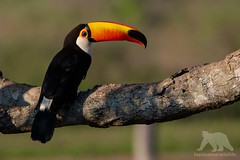 Toco Toucan (fascinationwildlife) Tags: animal bird birding vogel toco toucan tukan riesentukan tree south america südamerika wild wildlife nature natur pantanal park central brazil brasilien