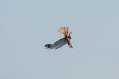 Male Marsh Harrier at Vik S24A9333 (grebberg) Tags: male marshharrier circusaeruginosus circus harrier raptor birdofprey vik klepp rogaland norway august 2018 bird
